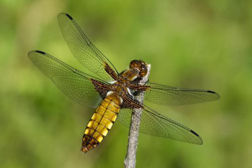 Plattbauch-Libelle